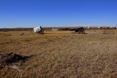 Mongolia cattle vehicle Royalty Free Stock Image