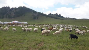 Mongolia flock of sheeps Stock Image