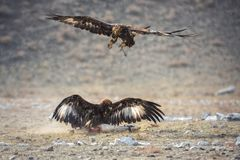 Mongolia, Golden Eagle Festival, Traditional Hunting With Berkut. Two Great Golden Eagles: One Is Sitting On The Prey, The Second stock photography