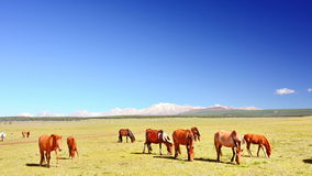 Mongolia, a group of Mongolian horseson the steppe road in the foothills of the Sayan mountains. royalty free stock photography