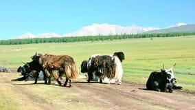 Mongolia, grupa yaks na stepowej drodze w pogórzach Sayan góry Obrazy Stock