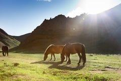 Free Mongolia Horse Royalty Free Stock Photo - 30906605