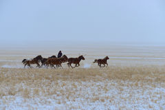 Mongolia horse and rider Royalty Free Stock Image