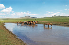 Mongolia Horses Royalty Free Stock Photography