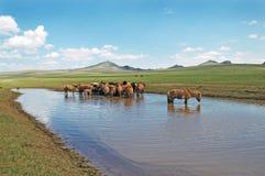Free Mongolia Horses Royalty Free Stock Photography - 4572837