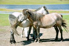 mongolia I cavalli mongoli in un pascolo vicino alle montagne di Sayan si avvicinano al lago Hovsgol in Mongolia di estate Immagini Stock Libere da Diritti