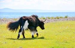 Mongolia, jeden śmiesznych młodych Yak sumiasty ogon jak pies, wraca od paśnika wzdłuż jeziornego Hovsgol Obrazy Stock