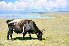 Mongolia, jeden dorosły Yak z puszystym ogonem w paśniku obok jeziornego Hovsgol Obraz Royalty Free