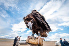 MONGOLIA - May 17, 2015: Specially trained eagle for hunting in mongolian desert near Ulaan-Baator. Royalty Free Stock Image