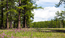 Mongolia's Northern Forests. Bright purple lupine lay before the forests of northern Mongolia Royalty Free Stock Images
