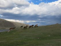 Mongolia sheep - traditional lifestyle and landscape in west Mongolia Royalty Free Stock Photo