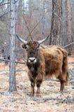 mongolia yak Arkivfoto