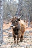 mongolia yak Royaltyfri Fotografi