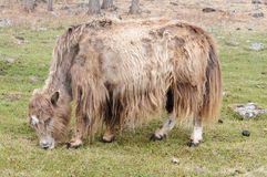 Mongolia – yak Royalty Free Stock Photos