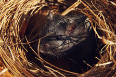 Mongolian black gerbil in a nest Royalty Free Stock Images