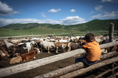 Mongolian Boy Sitting On Fence. A nomadic mongolian boy watching a herd of goats stock photo