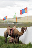 Mongolian Camels. Camels at a wrestling festival with Mongolian flags above Stock Photos