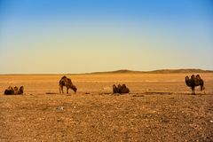 Mongolian Camels are standing in  desert Royalty Free Stock Images