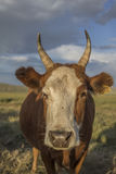 Mongolian cow Royalty Free Stock Images