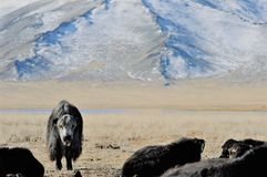 Mongolian cow in the mountains during the golden eagle festival stock photo