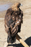 Mongolian Eagle Royalty Free Stock Image
