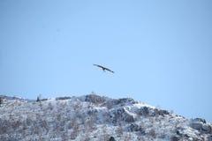 Mongolian Eagle Flying dourado imagens de stock royalty free
