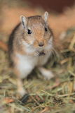 Mongolian Gerbil Royalty Free Stock Photo