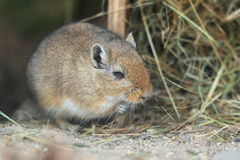 Mongolian gerbil Royalty Free Stock Photos