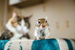 Mongolian gerbil mouse and the cat on background. Concepts of prey, food, pest, interrelation, help, danger. Mongolian gerbil mouse and the cat on background stock photos
