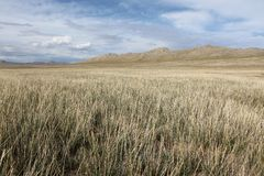 Mongolian Grass Stock Images