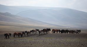 Mongolian Herd Royalty Free Stock Photo