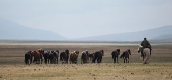 Mongolian Herd and Horseman Royalty Free Stock Photo