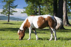 Mongolian Horse. A brown and white Mongolian horse grazes on fresh green grass Royalty Free Stock Photo