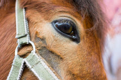 Mongolian Horse Face and halter Stock Photography