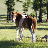 Mongolian Horse Foal. A brown and white Mongolian horse foal looks back while grazing on fresh green grass Stock Photos