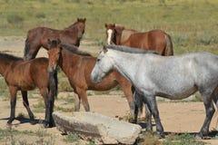 Mongolian Horse Stock Photos