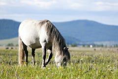 Mongolian Horse. A light grey Mongolian horse grazes on fresh green grass Stock Photos