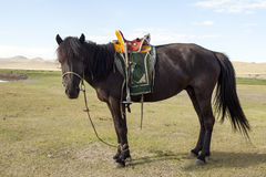 Mongolian Horse with Saddle. A black Mongolian horse with a traditional Mongolian saddle stock photos