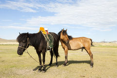 Mongolian Horse with Saddle Stock Photo