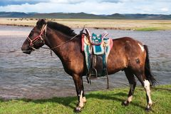 Mongolian horse saddled Royalty Free Stock Photo
