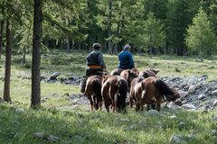Mongolian horseman heading home. Mongolian herders lead horses through pine forests in northern Mongolia Royalty Free Stock Photos