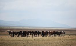 Mongolian Horses Royalty Free Stock Images