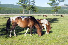 Mongolian Horses. A brown and white Mongolian horse grazes on fresh green grass Royalty Free Stock Photo