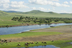 Mongolian horses and cows. Royalty Free Stock Photos
