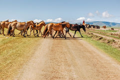 Mongolian horses cross dirt track. Mongolian horses herded by horseback nomad cross dirt track on Mongolian steppe Royalty Free Stock Photo