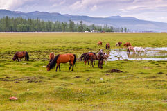 Mongolian horses grazing Royalty Free Stock Photos