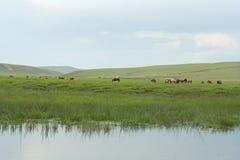 Mongolian horses. Royalty Free Stock Image