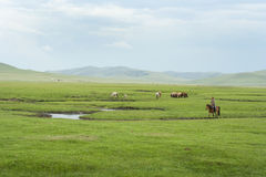 Mongolian horses. Stock Photos