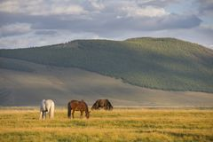 Mongolian horses in a landscape of northern mongolia Stock Photography