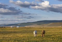 Mongolian horses in a landscape of northern mongolia Stock Images